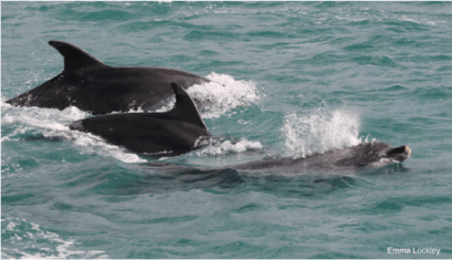 Bottlenose dolphins. Image by Emma Lockley.