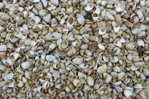 Bank in the southern coast of Hayling Island (near Portsmouth, UK), composed of millions of slipper shells.