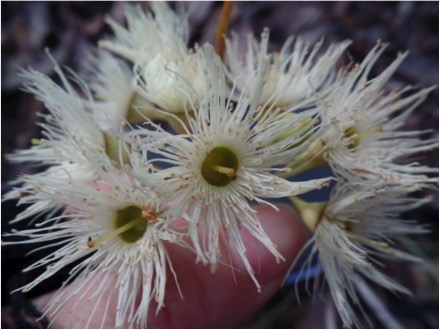 Eucalyptus flowers provide nectar for all honeyeater species. Image copyright Gemma Taylor.