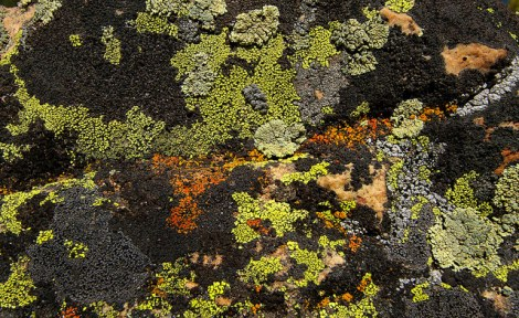 Are you lichen that diversity? Many species can be easily found growing on rocks, as in this example from western USA