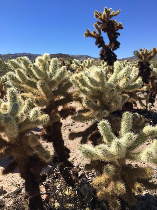 Cholla cacti in the Mojave. Image by Leif Bersweden.