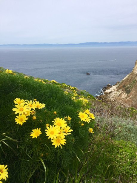 Woody Coreopsis daisies on the Californian Channel Islands. Image by Leif Bersweden.