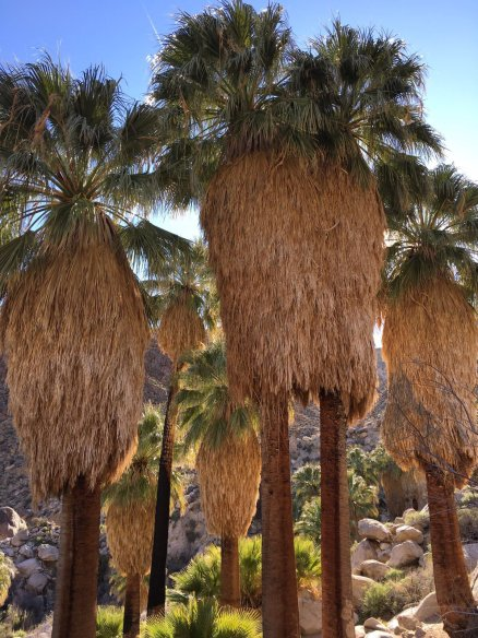 Palms - not technically trees, we learned on the DTP California 2017 trip. Image by Anna Cutmore.