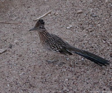 A Greater Roadrunner(Geococcyx californianus) in Joshua Tree NP. Image copyright Dan Nicholson.