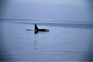 The huge bull orca – notice his tall dorsal fin, this can reach up to 6ft in males. Image by Rosie Williams.