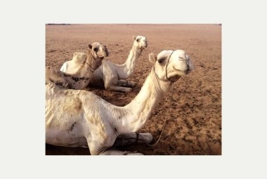 Lev's three Camels