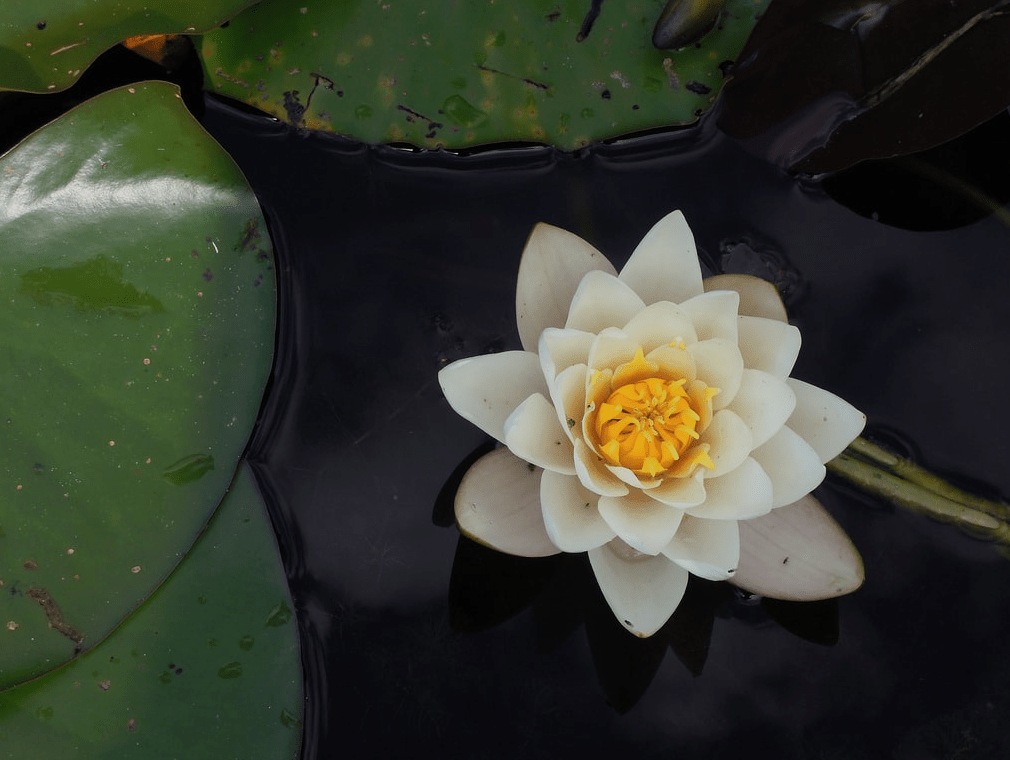 Photo of a Lotus