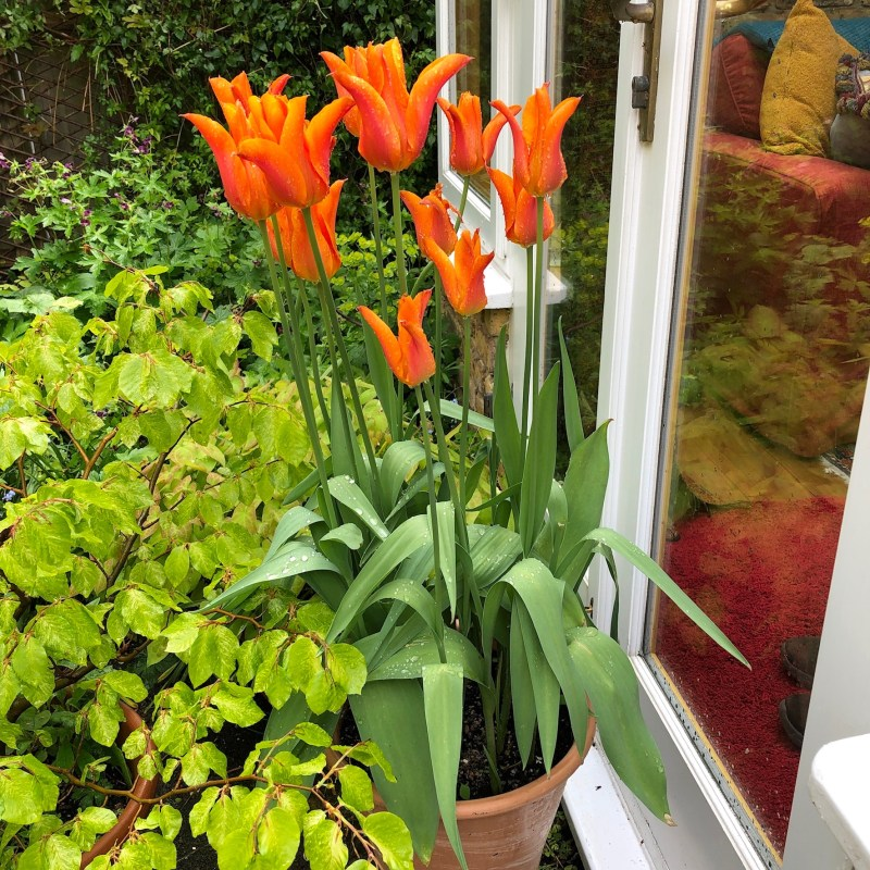 container gardening with tulips