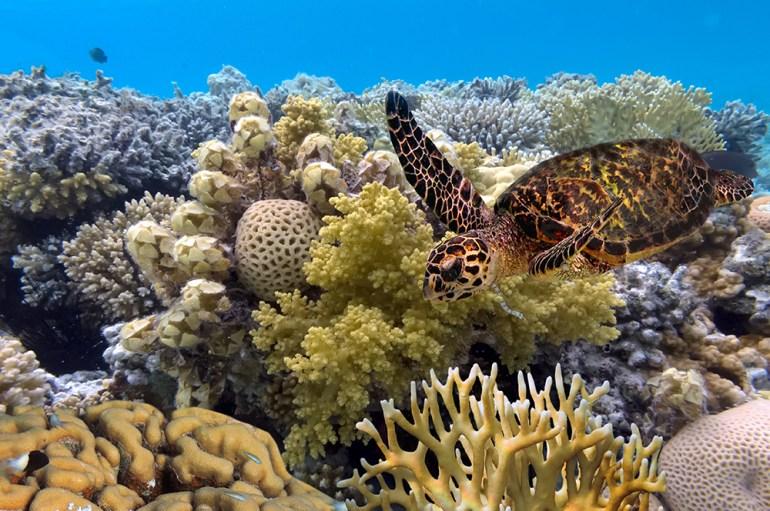 green turtle swimming in blue ocean,great barrier reef