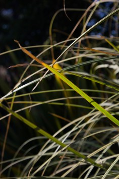 Grasses in the gardens at Matjiesfontein