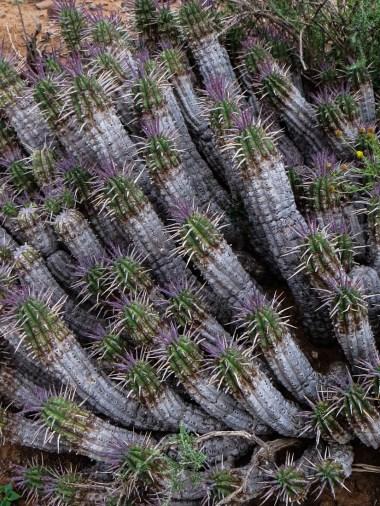 A variety of euphorbia in the Camdebo National Park