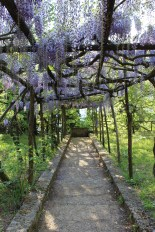 Wisteria again! Too beautiful