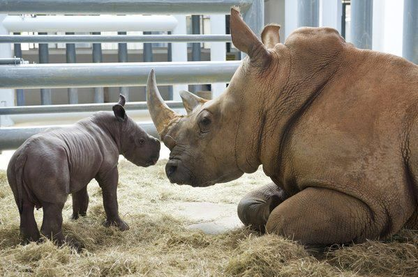 White Rhino born in Walt Disney Florida