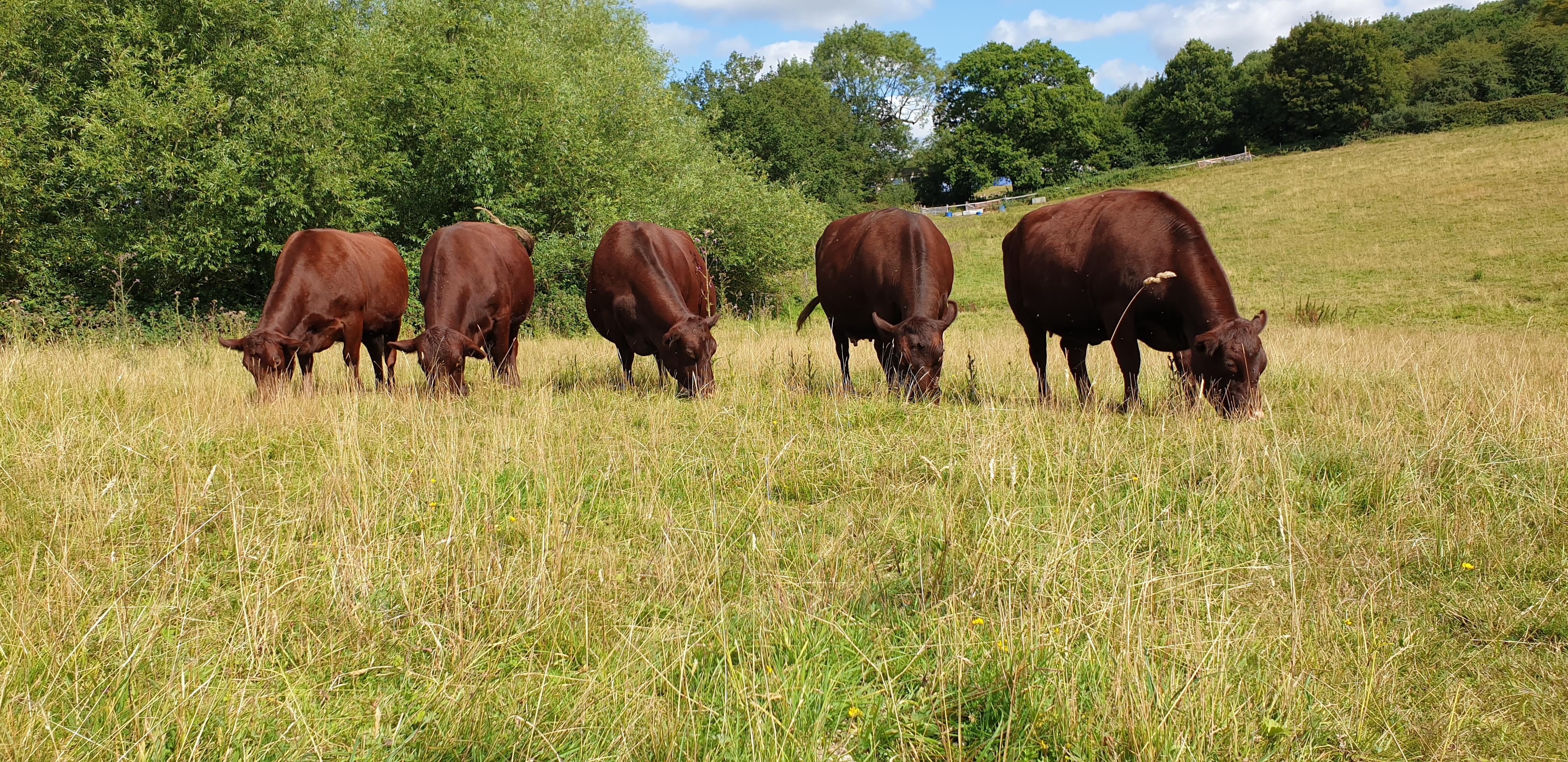 Best Animal Portrait: Red Poll Herd at Lamborne End