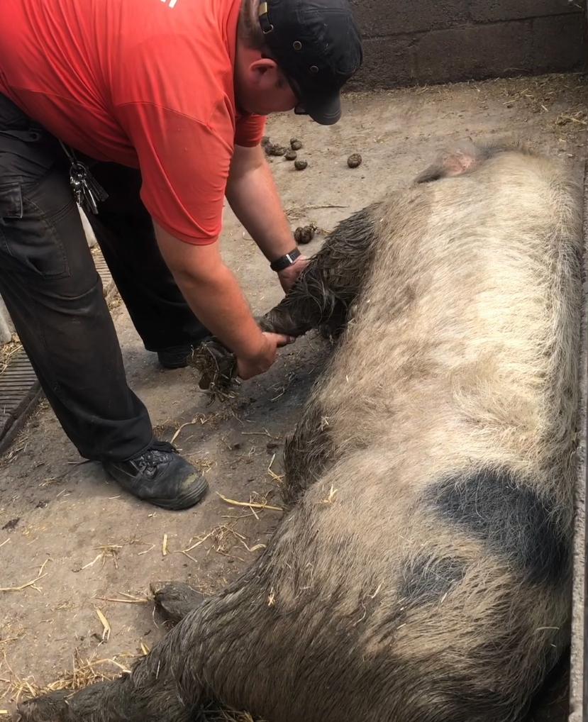 Pleasantest Pig: Newham City Farm