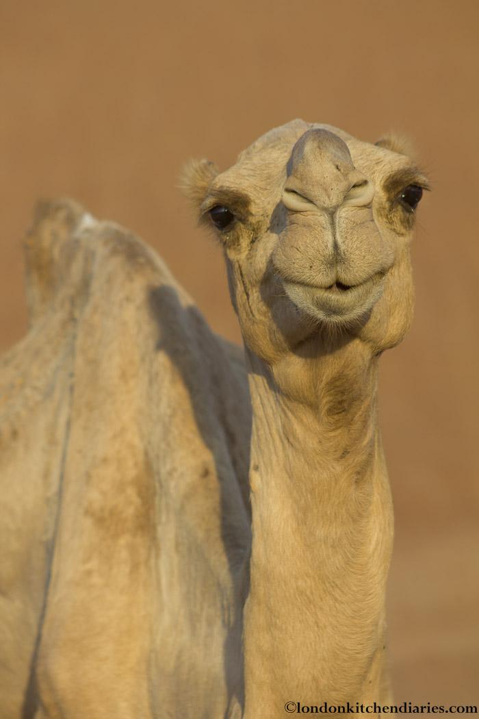 camel-4
