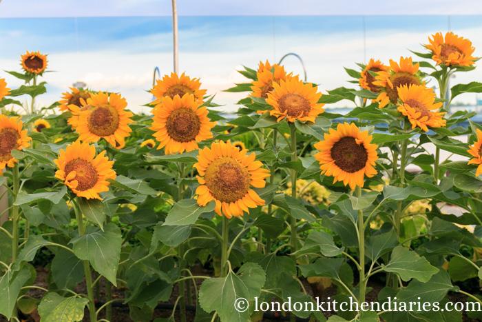sunflower garden at changi singapore airport