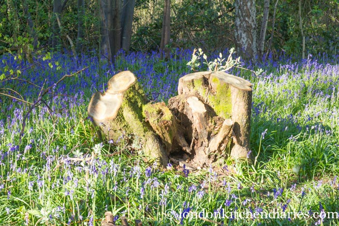 Bluebells on Sissinghurst Castle Estate in Kent
