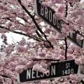 Thumbnail for post: Cherry blossom festival in Vancouver