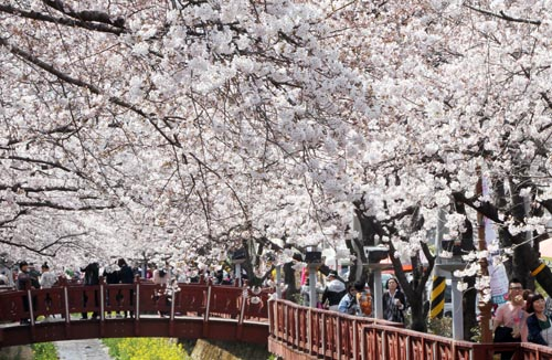 Cherry blossoms line the streets of Jinhae District in Changwon, South Gyeongsang