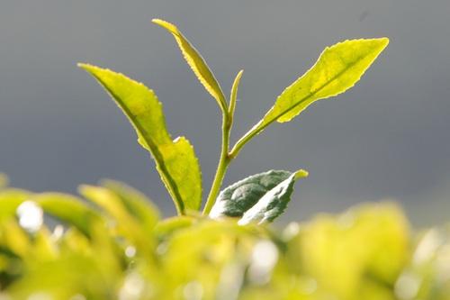 Green tea plant