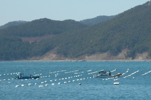 Oyster farms on the approach to Hansando harbour