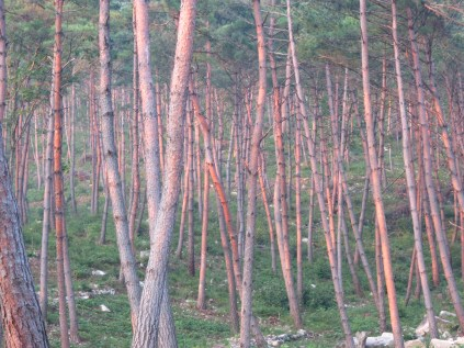 Slender trunks of young pine in the recreational forest