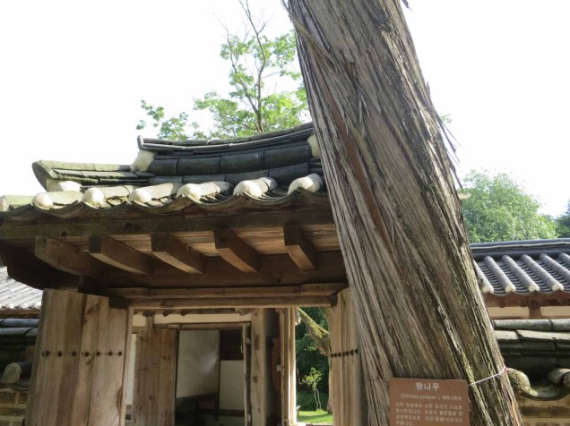 A Chinese Juniper tree in the tomb-keeper's house
