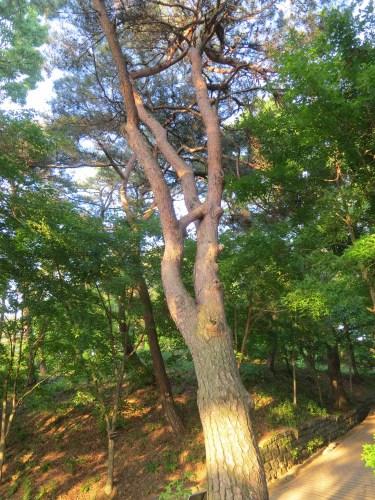 연리지 tree on Busosan