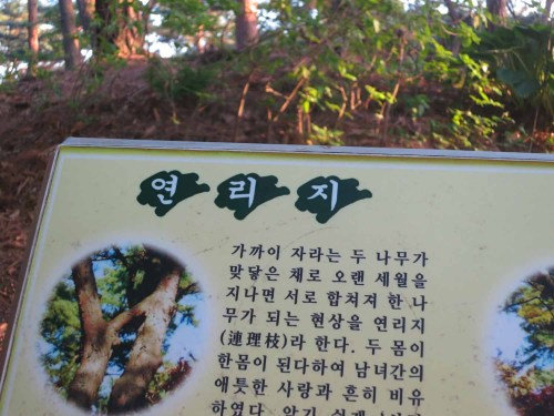 The information board beneath the 연리지 tree