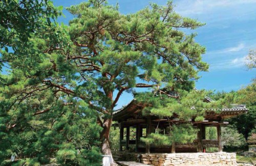 The pine tree by the Seyeonjeong