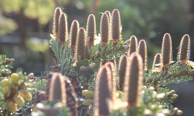 Abies Korean cones