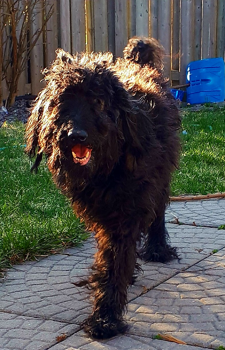 Shaggy - Lost Male Dog - Black Labradoodle - London Lost Pets