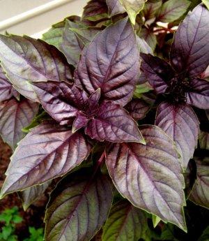 Basil Purple Petra