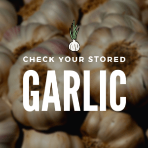 Check Your Stored Garlic