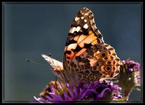 butterfly_w