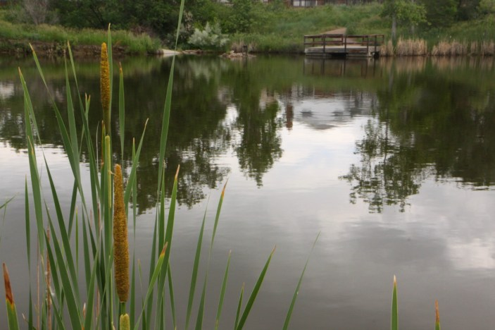 Cattails in water. Credit: Copyright 2016 Wendy Petty