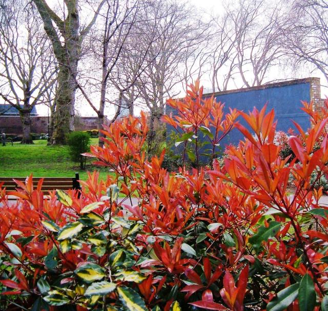 New photinia leaves in Wapping Gardens