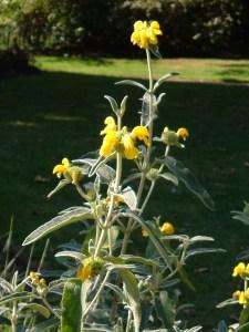 Phlomis in Hyde Park Garden