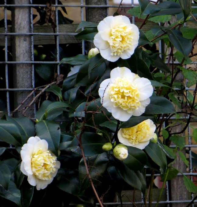 White Camellias