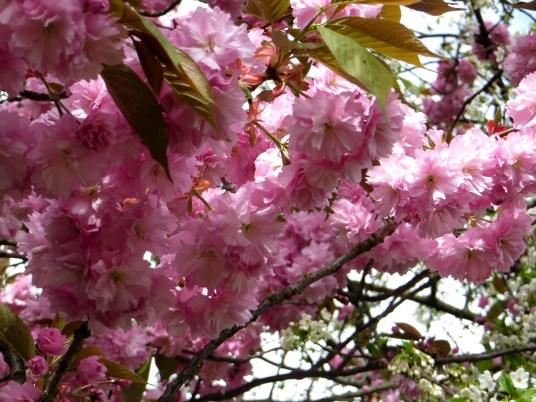 Cherry blossom in Victoria Park