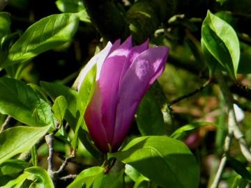 Magnolia in Regent's Park
