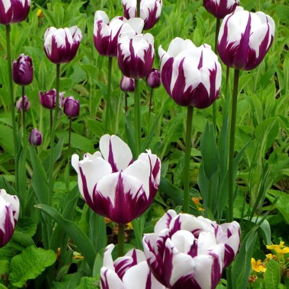 Purple striped tulips in Greenwich Park