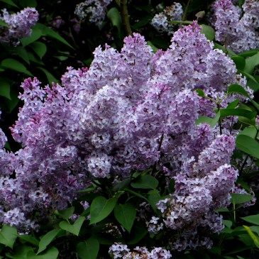 WordPress Photo Challenge – Lilacs in London