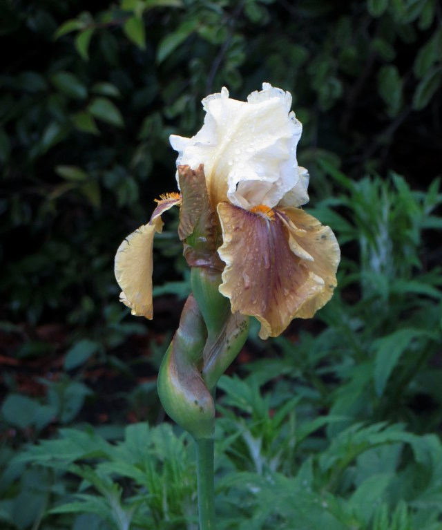 Iris, Greenwich Park