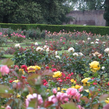 Red Roses in Greenwich Park