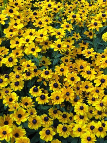 Black-eyed Susans