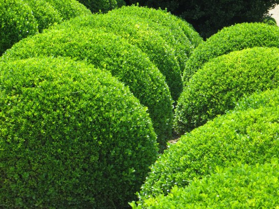 Box bushes