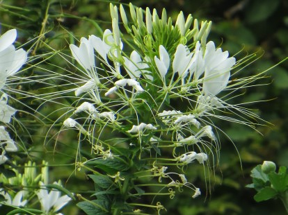 Cleome - Spider Flower