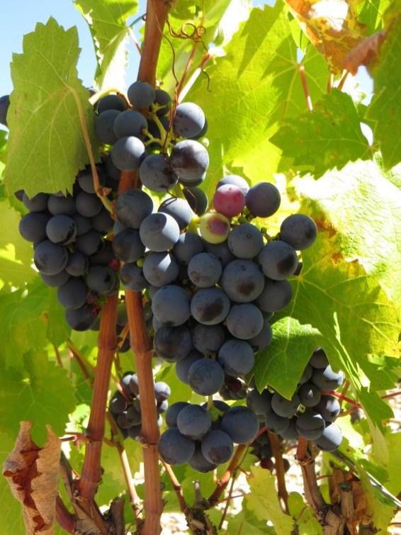 Vines around AiguesBelles